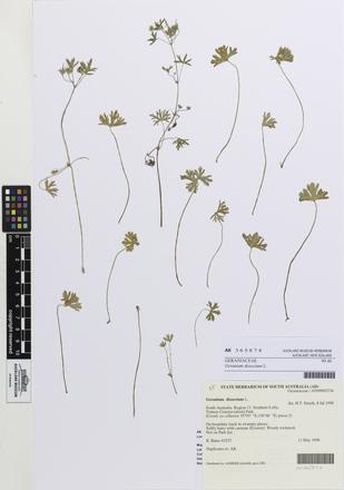 Geranium dissectum, AK365874, © Auckland Museum CC BY