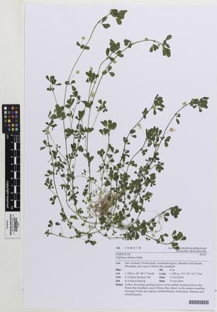 Trifolium dubium, AK368018, © Auckland Museum CC BY