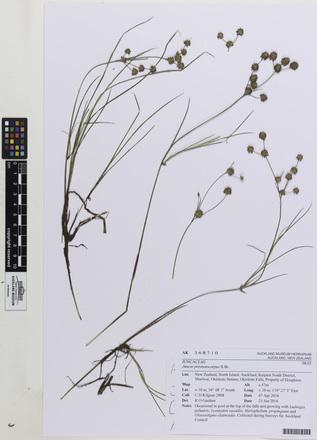 Juncus prismatocarpus, AK368710, © Auckland Museum CC BY