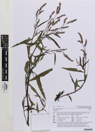 Persicaria, AK368754, © Auckland Museum CC BY