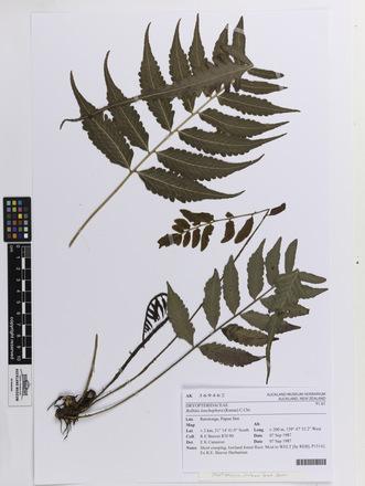 Bolbitis lonchophora, AK369462, © Auckland Museum CC BY