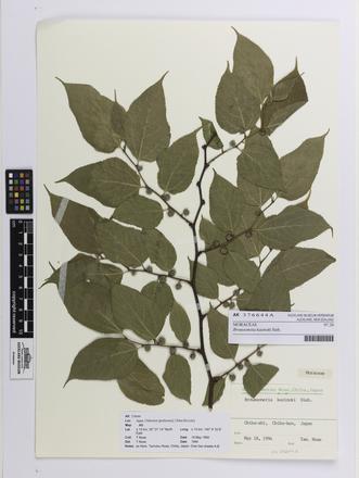 Broussonetia kazinoki, AK376644, © Auckland Museum CC BY
