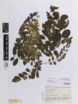 Robinia pseudoacacia, AK377356, © Auckland Museum CC BY
