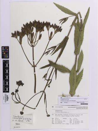 Verbena incompta, AK233896, © Auckland Museum CC BY