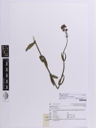Verbena incompta, AK252427, © Auckland Museum CC BY