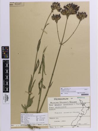 Verbena incompta, AK264613, © Auckland Museum CC BY