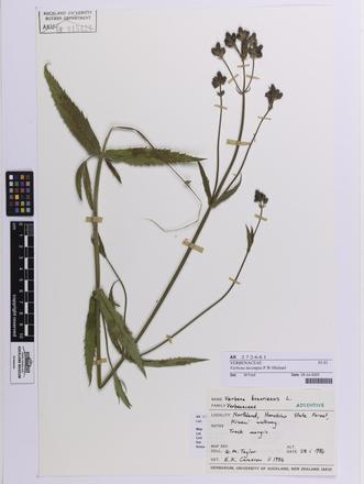 Verbena incompta, AK272661, © Auckland Museum CC BY