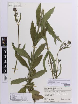 Verbena incompta, AK275552, © Auckland Museum CC BY
