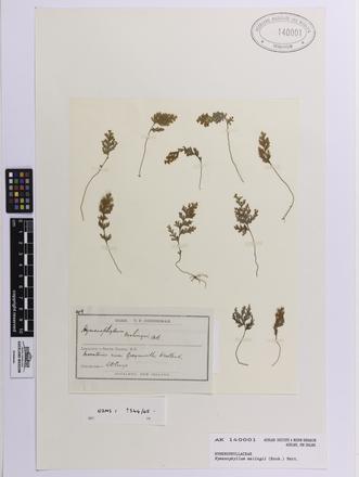 Hymenophyllum malingii, AK140001, © Auckland Museum CC BY