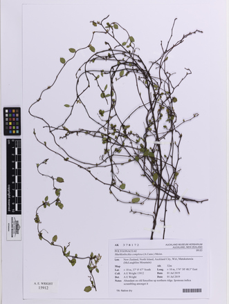 Muehlenbeckia complexa, AK378172, © Auckland Museum CC BY