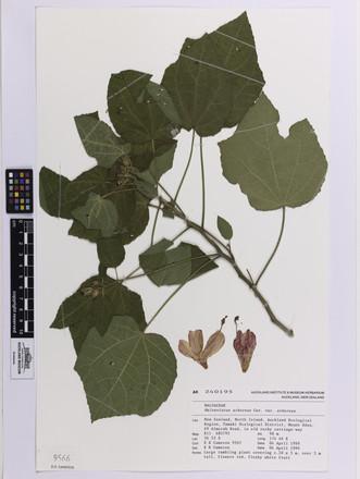 Malvaviscus arboreus arboreus, AK240195, © Auckland Museum CC BY