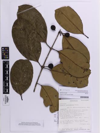Eugenia arthroopoda, AK377377, © Auckland Museum CC BY