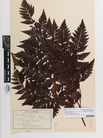 Davallia solida, AK112168, © Auckland Museum CC BY