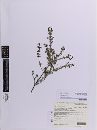 Logania linifolia, AK377163, © Auckland Museum CC BY
