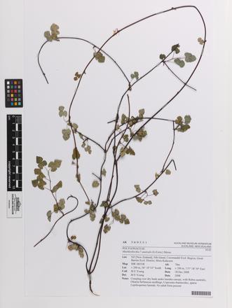 Muehlenbeckia australis, AK369551, © Auckland Museum CC BY
