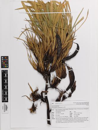 Phormium cookianum, AK297137, © Auckland Museum CC BY
