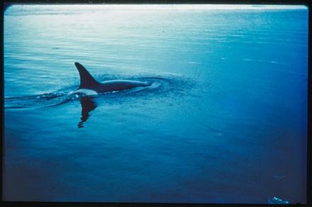 [Orca]