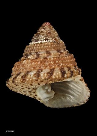 Paraclanculus peccatus, MA70584, © CC BY, Auckland Museum