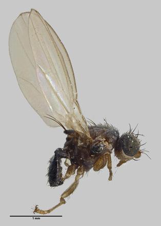Australimyza anisotomae