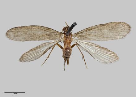 Neobiosella irrorata
