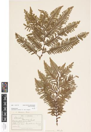 Libocedrus plumosa, AK1075, © Auckland Museum CC BY