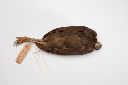 Megapodius pritchardii; LB1861; © Auckland Museum CC BY
