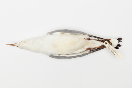 Larus novaehollandiae; LB2122; © Auckland Museum CC BY
