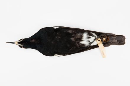 Gymnorhina tibicen; LB4909; © Auckland Museum CC BY