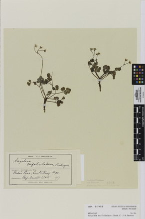 Gingidia trifoliolata, AK6708, © Auckland Museum CC BY