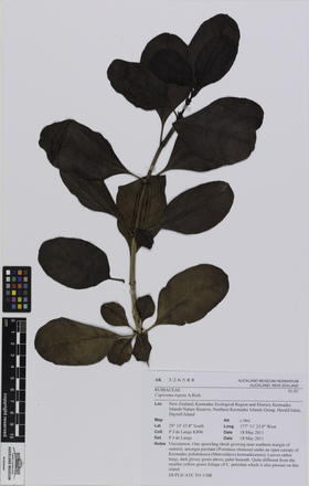 AK326588, Coprosma repens, Photographed by: Eugene Wong Doe, photographer, digital, 19 Oct 2016, © Auckland Museum CC BY