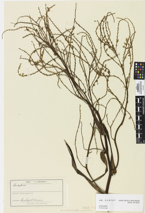 Cordyline, AK219727, © Auckland Museum CC BY