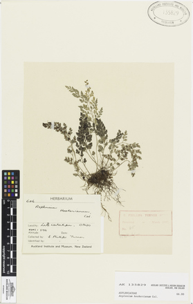 AK135829, Asplenium hookerianum, Photographed by: Ella Rawcliffe, photographer, digital, 16 Feb 2017, © Auckland Museum CC BY