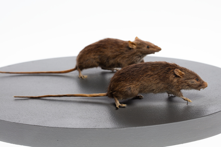 Rattus exulans, LM234, © Auckland Museum CC BY