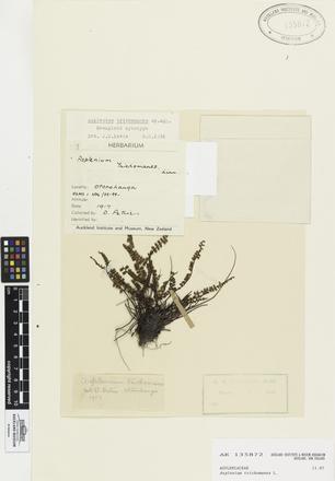 Asplenium trichomanes, AK135872, © Auckland Museum CC BY
