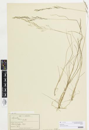 Agrostis petriei, AK1426, © Auckland Museum CC BY