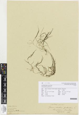Zannichellia palustris, AK11102, © Auckland Museum CC BY