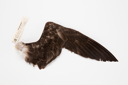 Puffinus gavia, LB1919, © Auckland Museum CC BY