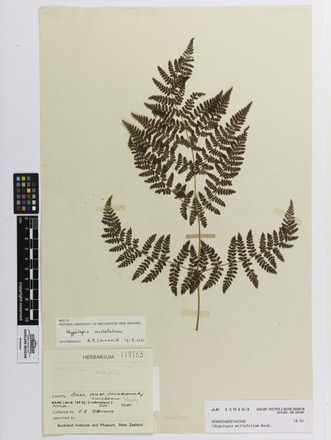 Hypolepis millefolium, AK119163, © Auckland Museum CC BY