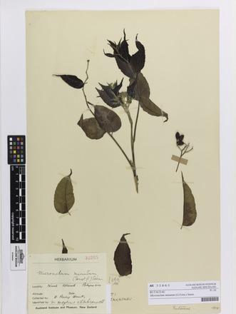 Micromelum minutum, AK32865, © Auckland Museum CC BY