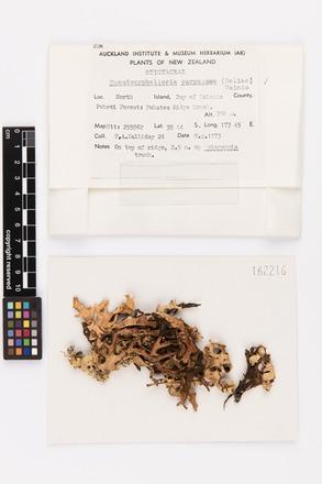 Pseudocyphellaria carpoloma, AK162216, © Auckland Museum CC BY