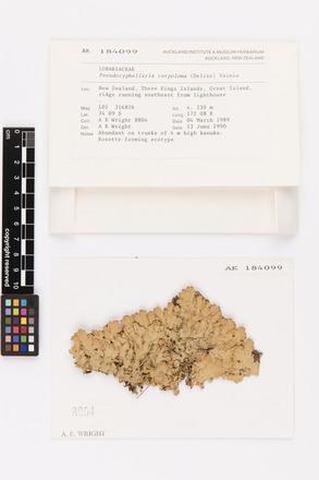 Pseudocyphellaria carpoloma, AK184099, © Auckland Museum CC BY