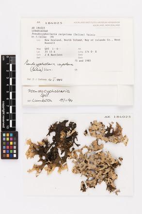 Pseudocyphellaria carpoloma, AK184025, © Auckland Museum CC BY