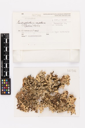 Pseudocyphellaria carpoloma, AK161546, © Auckland Museum CC BY