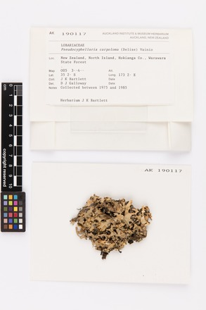 Pseudocyphellaria carpoloma, AK190117, © Auckland Museum CC BY
