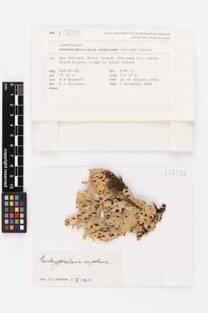 Pseudocyphellaria carpoloma, AK178206, © Auckland Museum CC BY