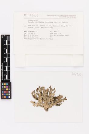 Pseudocyphellaria carpoloma, AK182436, © Auckland Museum CC BY
