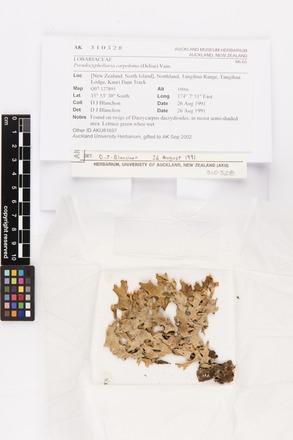 Pseudocyphellaria carpoloma, AK310328, © Auckland Museum CC BY