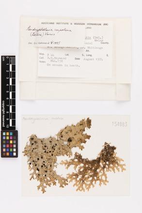 Pseudocyphellaria carpoloma, AK154883, © Auckland Museum CC BY