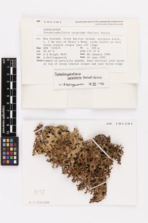 Pseudocyphellaria carpoloma, AK184281, © Auckland Museum CC BY