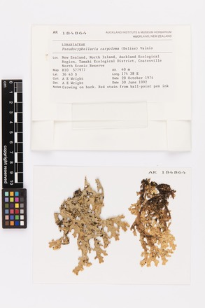 Pseudocyphellaria carpoloma, AK184864, © Auckland Museum CC BY